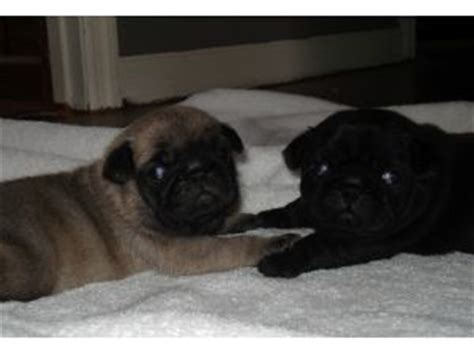 pugs for sale in atlanta ga pug puppies in