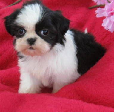 shih tzu teeth sticking out akc blk wh shih tzu puppy lovable friends shih tzu puppy