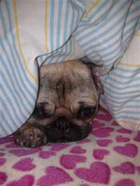pug age expectancy pug information and facts breeds