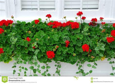 imagenes de jardines con geranios geranios en ventana foto de archivo imagen de geranio