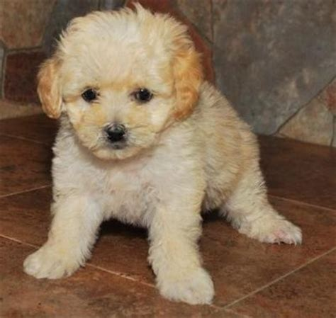 maltipoo puppies for sale high quality maltipoo puppies for sale