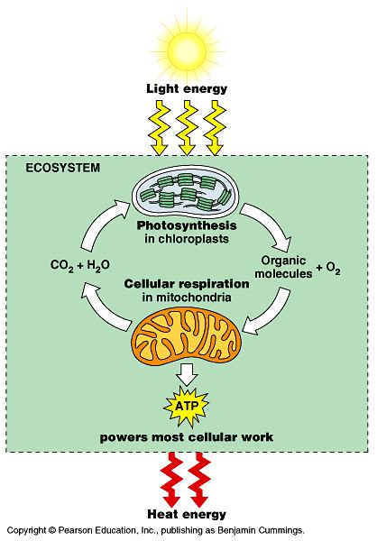 photosynthesis and respiration diagram biological processes and systems