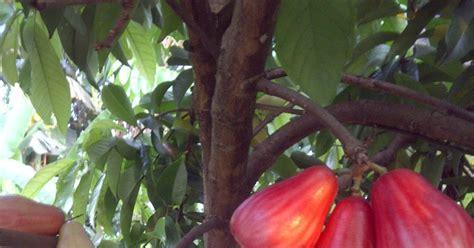 Harga Bibit Pohon Jambu Bol pbn jambu bol jamaica
