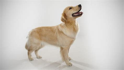what breed is a golden retriever golden retriever breed selector animal planet