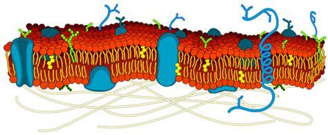 plikcell membrane detailed diagram blanksvg wikipedia