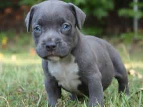 blue eyed pitbull puppies the 25 best blue nose pitbull puppies ideas on blue pits blue nose