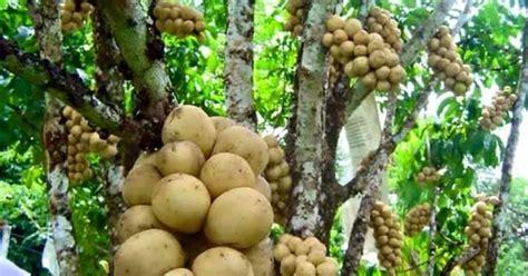 cara membuat zpt tanaman padi rahasia cara membuat tanaman duku cepat berbuah petani top