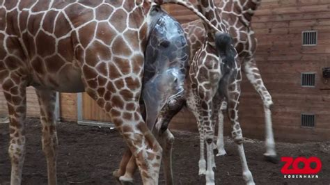 Copenhagen To Queue For Shortcut 7 by Girafunge Kommer Til Verden Copenhagen Zoo