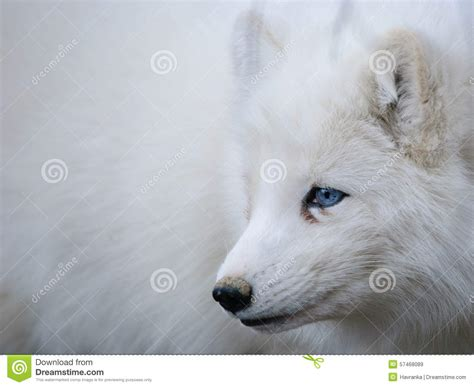 arctic blue arctic blue eyes www imgkid com the image kid has it
