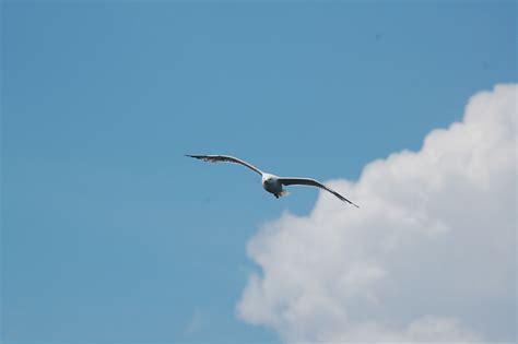 volo gabbiano cielo gabbiano nuvole 183 foto gratis su pixabay