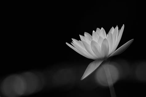 white light for photography lotus flower black and white photography flowers ideas