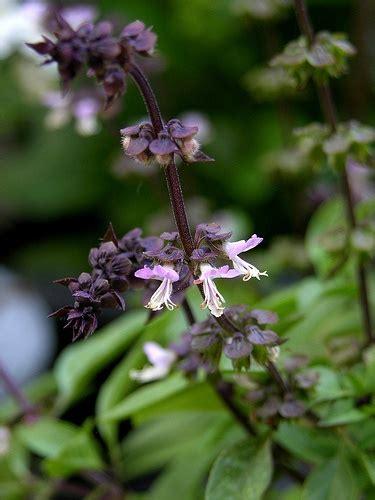 thai basil flowers plants and flowers pinterest