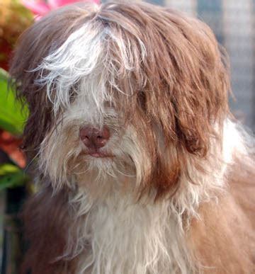havanese housebreaking royal flush havanese complaints are not what they seem as they prepare to