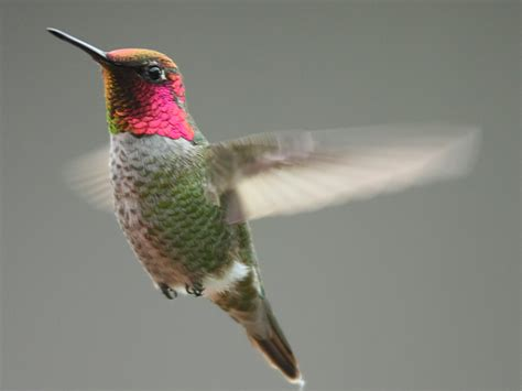 annas hummingbird willapa u s fish and wildlife service