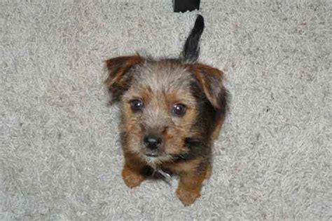 russel yorkie mix yorkie yorkie russells terrier x terrier