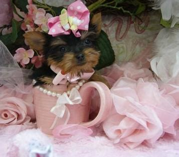 yorkie for sale ottawa gorgeous terrier pups for sale 10 weeks