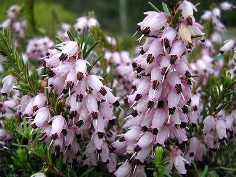 calluna vulgaris in vaso erica calluna vulgaris calluna vulgaris piante