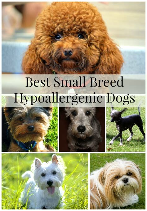 small hypoallergenic breeds hypoallergenic breeds small in breeds picture