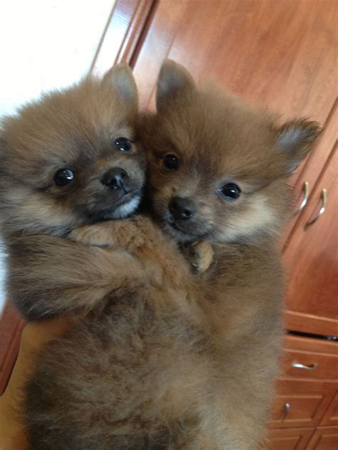 teacup pomeranian adoption pin teacup pomeranians adoption image search results on