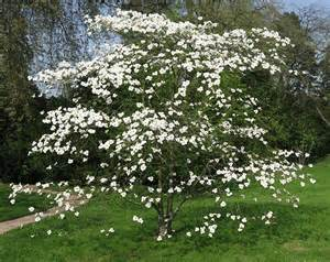 flowering dogwood shrub missouri trees for sale the tree center