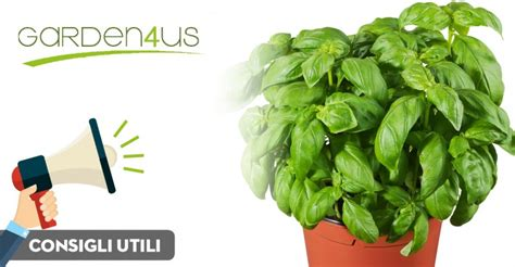 piantare il basilico in vaso basilico come prendersene cura garden4us