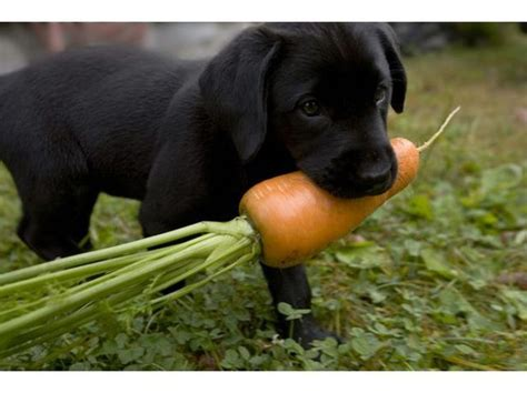 what veggies can dogs eat list of fruits vegetables dogs can eat cuteness