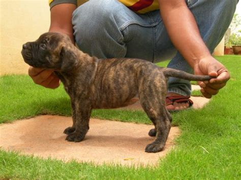 brindle mastiff puppy the forums subeta