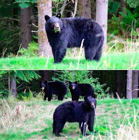 bear in backyard top 10 snoqualmie valley photos of 2015 living snoqualmie