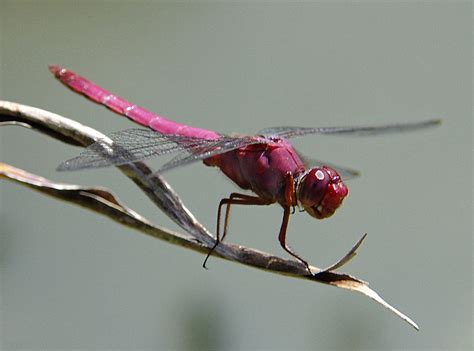 dragonfly fact info and photos 2012 the wildlife