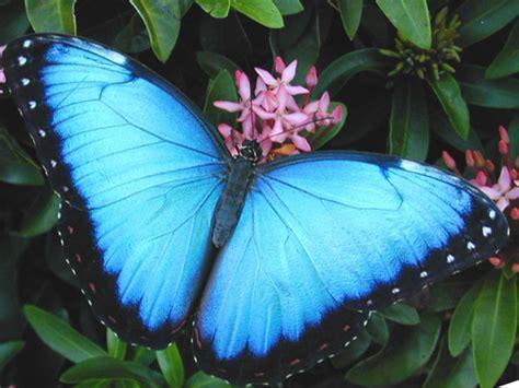 imagenes de mariposas reales bonitas conoce las 23 mariposas m 225 s hermosas del mundo 161 parecen
