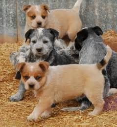 Red Australian Cattle Dog Puppies