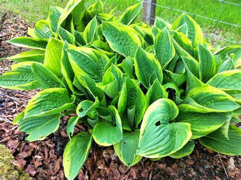 raw edible plants hosta species