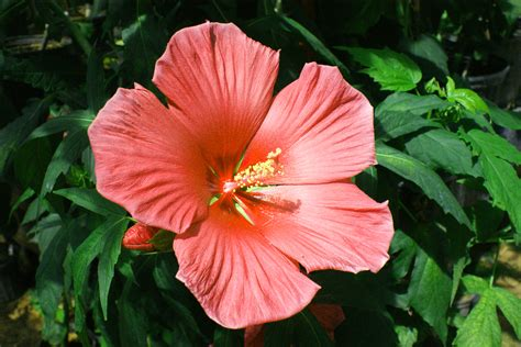180 ways to create novel hibiscus with colors and