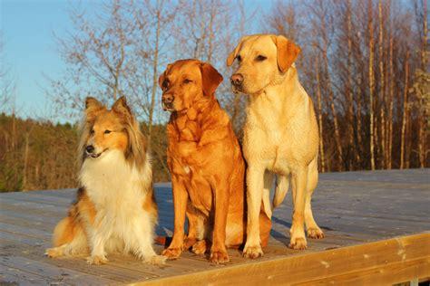golden retriever scotia free images golden retriever friends vertebrate trio labrador breed