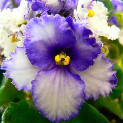 imagenes de flores llamadas violetas im 225 genes de flores y plantas violeta