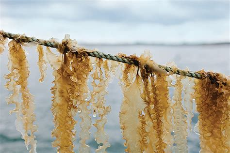 Could Become The Next Spokeperson by Fork Kelp Could Become The Next Big Commercial Crop