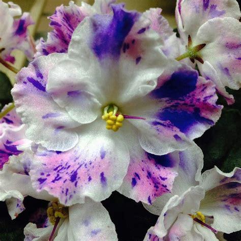 Elif Sarimbit Family 17 Violet 25 best violets images on violet saintpaulia and violets
