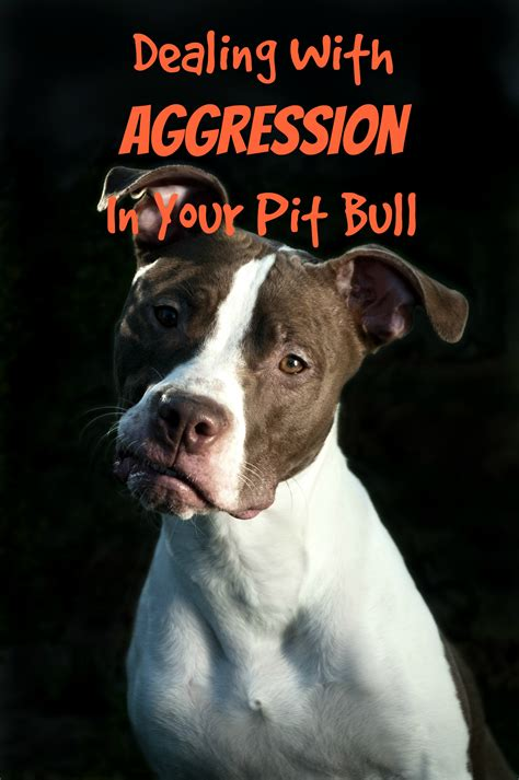 pitbull puppy tips pitbull puppy tips dealing with aggression