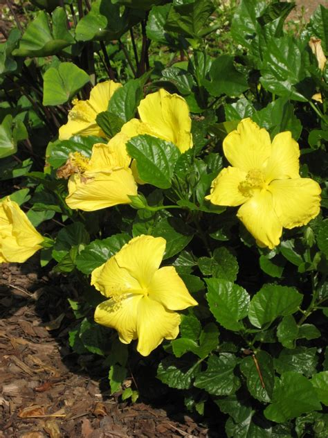 choose the right hibiscus for your needs hgtv