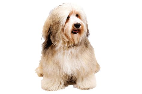 havanese gifts havanese gifts accessories up to 50 top pet gifts