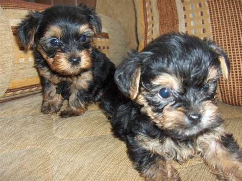 yorkie puppies for sale miami yorkie puppies for adoption for sale in miami florida to breeds picture