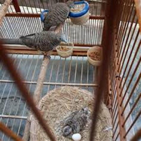 Tempat Makan Burung Perkutut lokasi dan bentuk kandang burung perkutut gacor situs