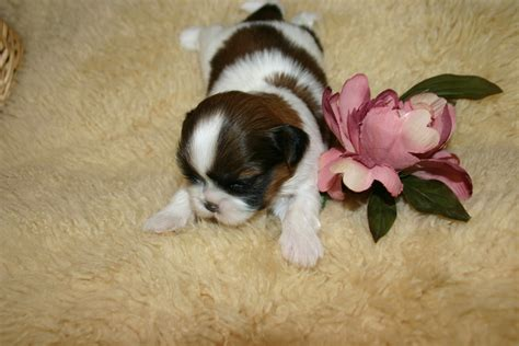 3 week shih tzu puppies akc shih tzu puppies for sale ruby the shih tzu site shih tzu puppies shih tzu