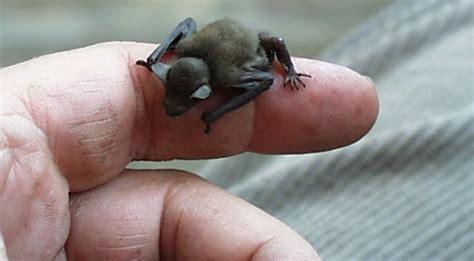 kittis hog nosed bat  worlds smallest mammal