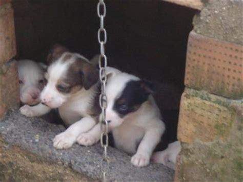 muy buenos cachorros podencos paterneros