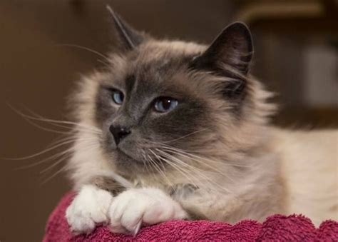 pin maine coon kittens for adoption murfreesboro animals