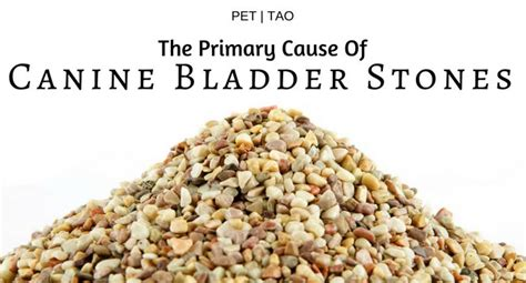 what causes bladder stones in dogs the primary cause of bladder stones