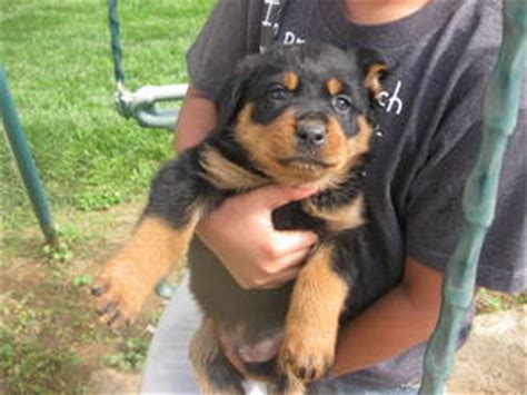 puppies 300 dollars rottweilers puppies for sale wade hton sc asnclassifieds