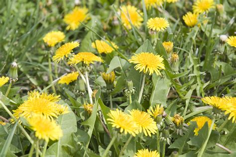 weeds backyard managing weeds in your lawn and landscape including