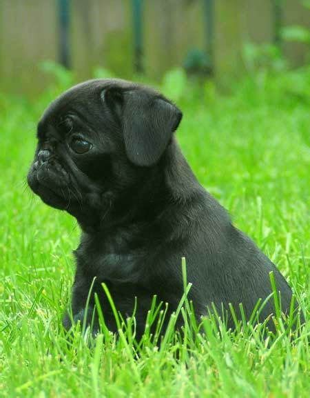 caleb pugs best 25 black pug puppies ideas on pug puppies black pug puppy and black pug